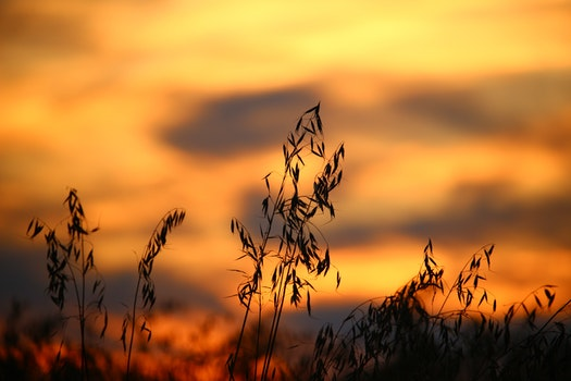 Wheat Field during Sun Set