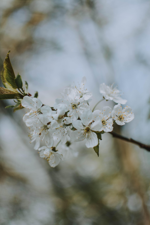met bloeiend, bloemblaadjes, bloemen, bloesem