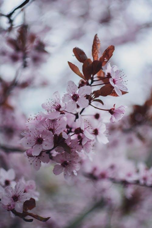 ág, bimbó, cseresznye