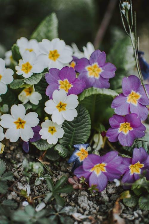 フラワーズ, 春, 細部, 自然の無料の写真素材
