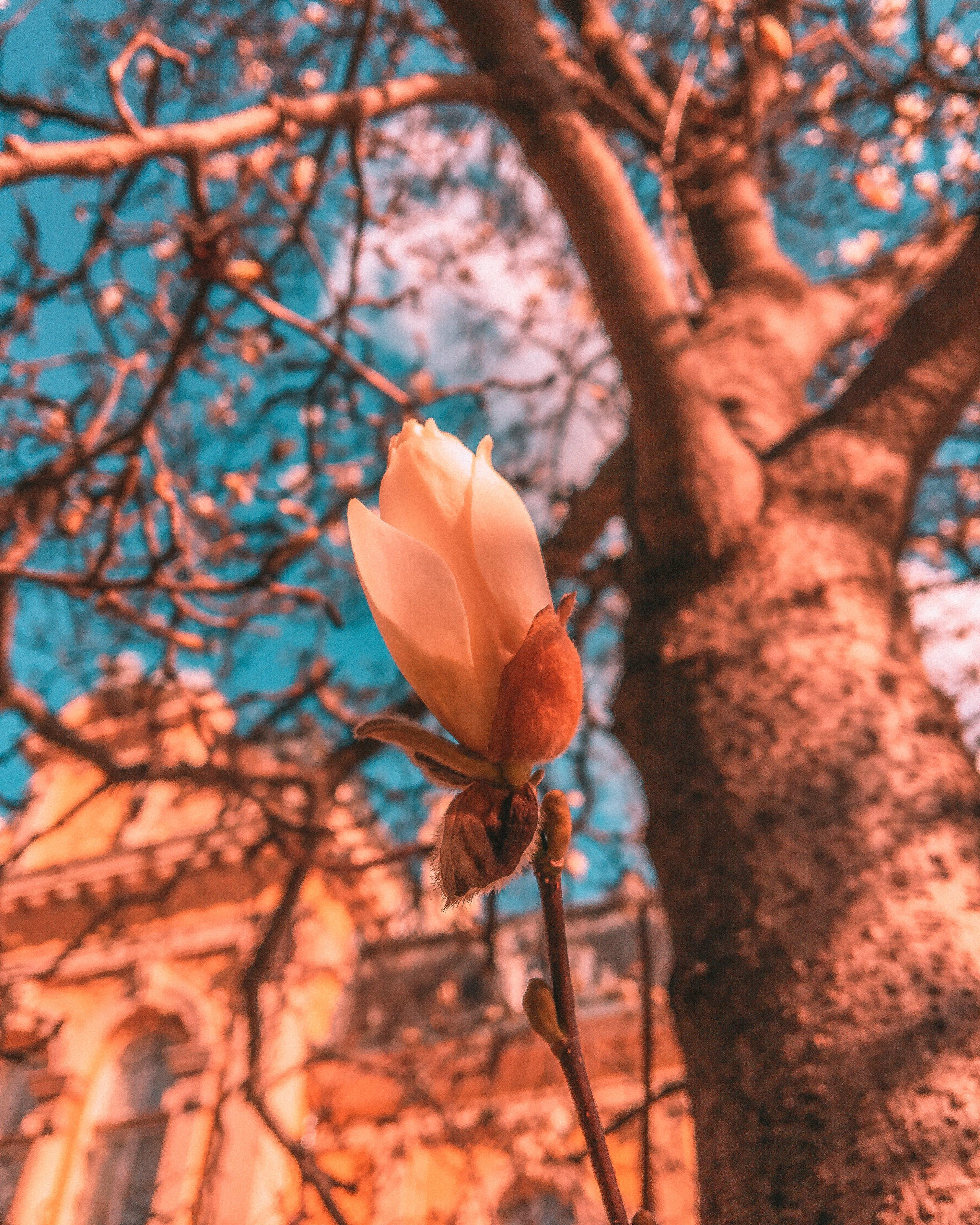 Základová fotografie zdarma na téma bulharsko, jaro, magnólie, sofia