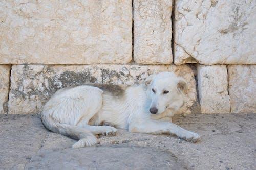 Ảnh lưu trữ miễn phí về chó, con chó trắng, con vật, cục đá