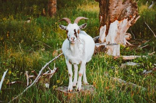 White Goat Standing on Wood Log