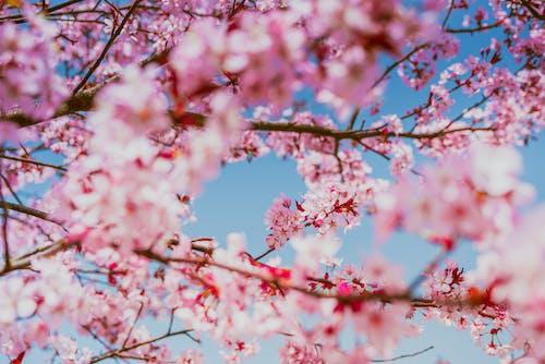 Imagine de stoc gratuită din cireașă, creangă, delicat, floare
