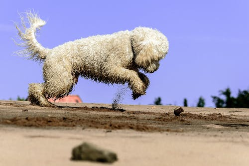 Medium-coated Biege Puppy on Brown Sand