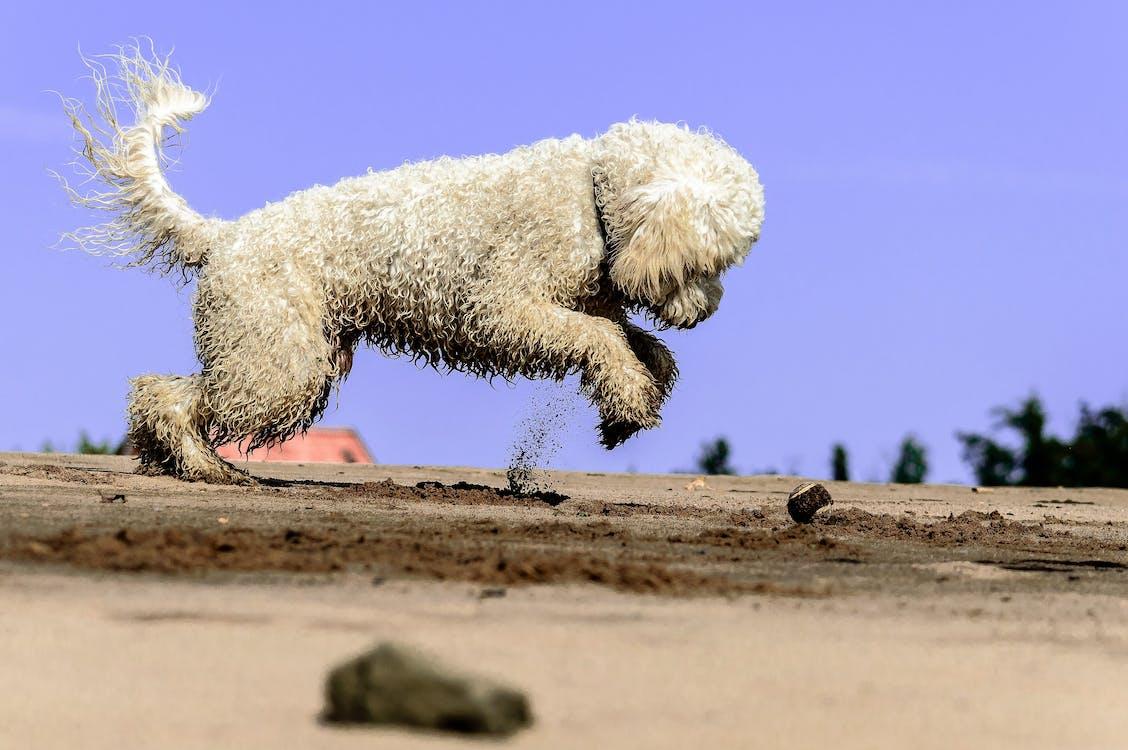 altın renkli doodle, atlamak, çöl içeren Ücretsiz stok fotoğraf