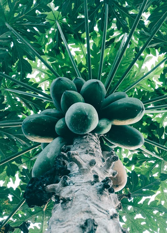 Bottom View of Green Papaya Tree