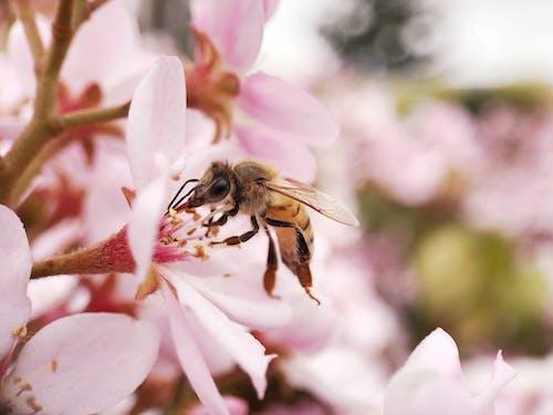 Fotobanka sbezplatnými fotkami na tému #bee #honeybee #macro #nature #flowers #pink