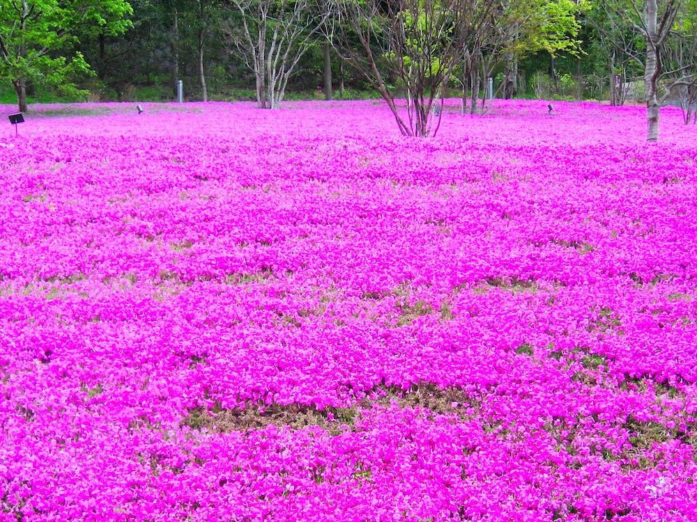 квіти, поле, токіо