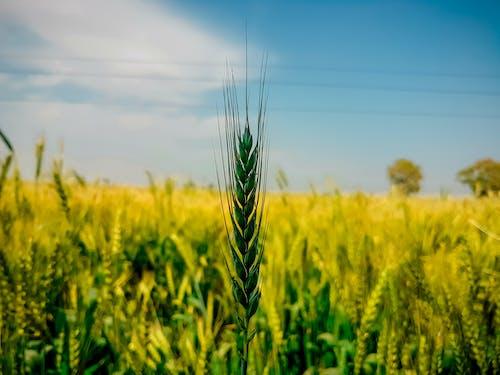 Foto stok gratis biji-bijian, biru, gandum