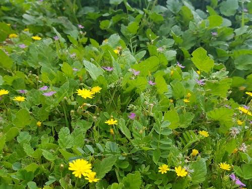 Gratis stockfoto met bloemen in de lente, lentebloem, zonnebloem