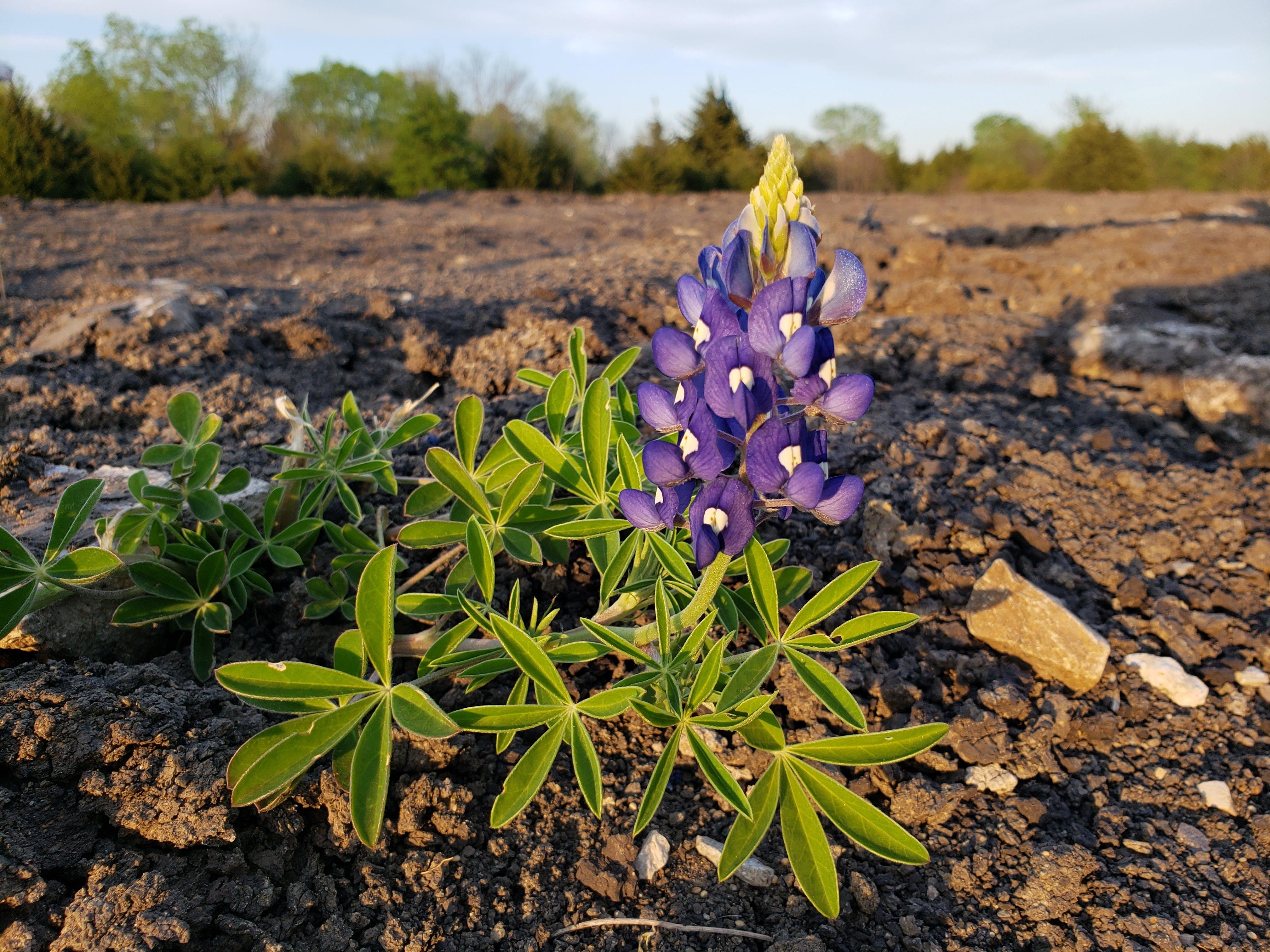 Kostenloses Stock Foto zu bluebonnet, blume, natur, pflanzen