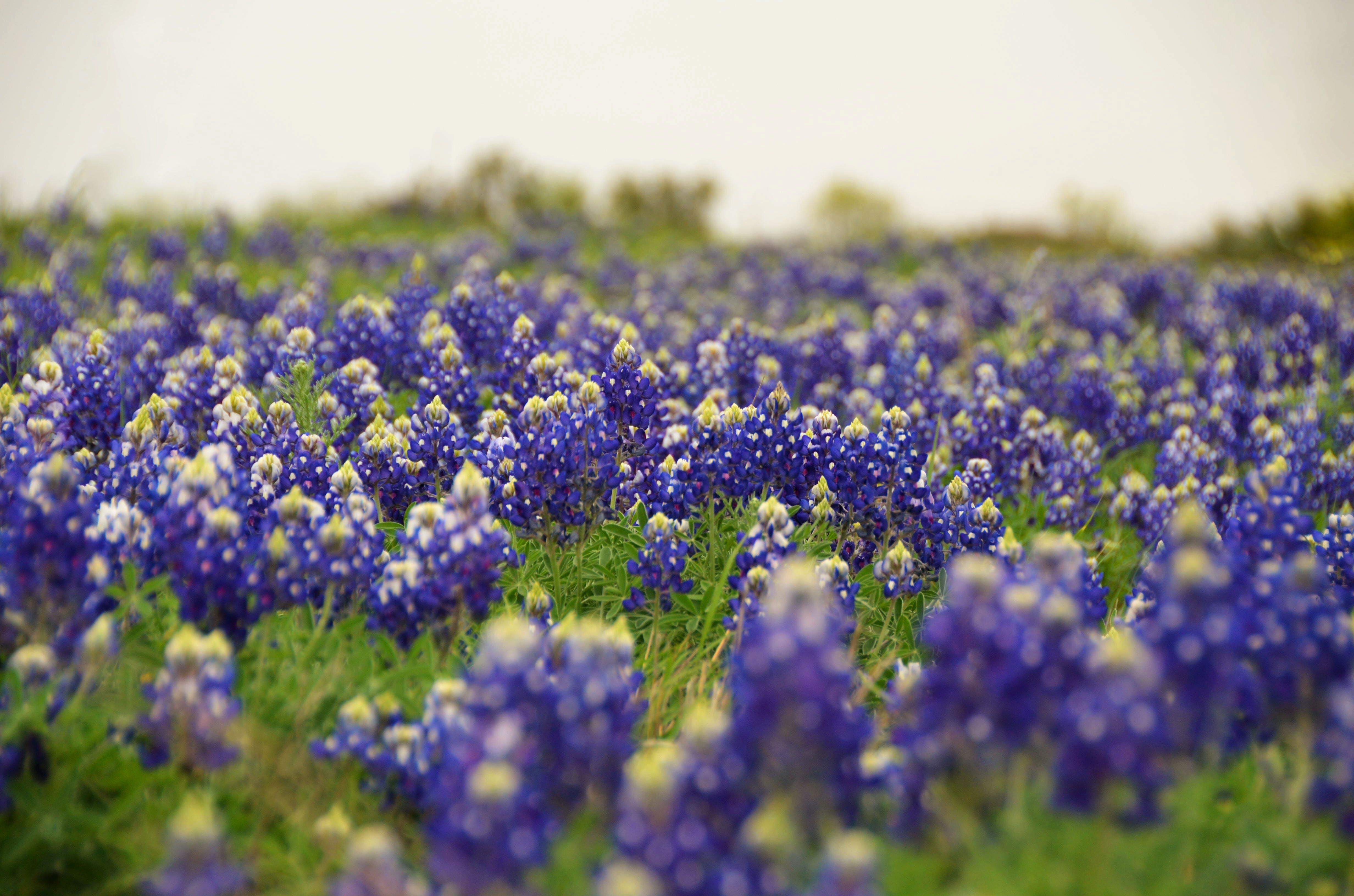 Free stock photo of austin, beautiful, bend, bloom