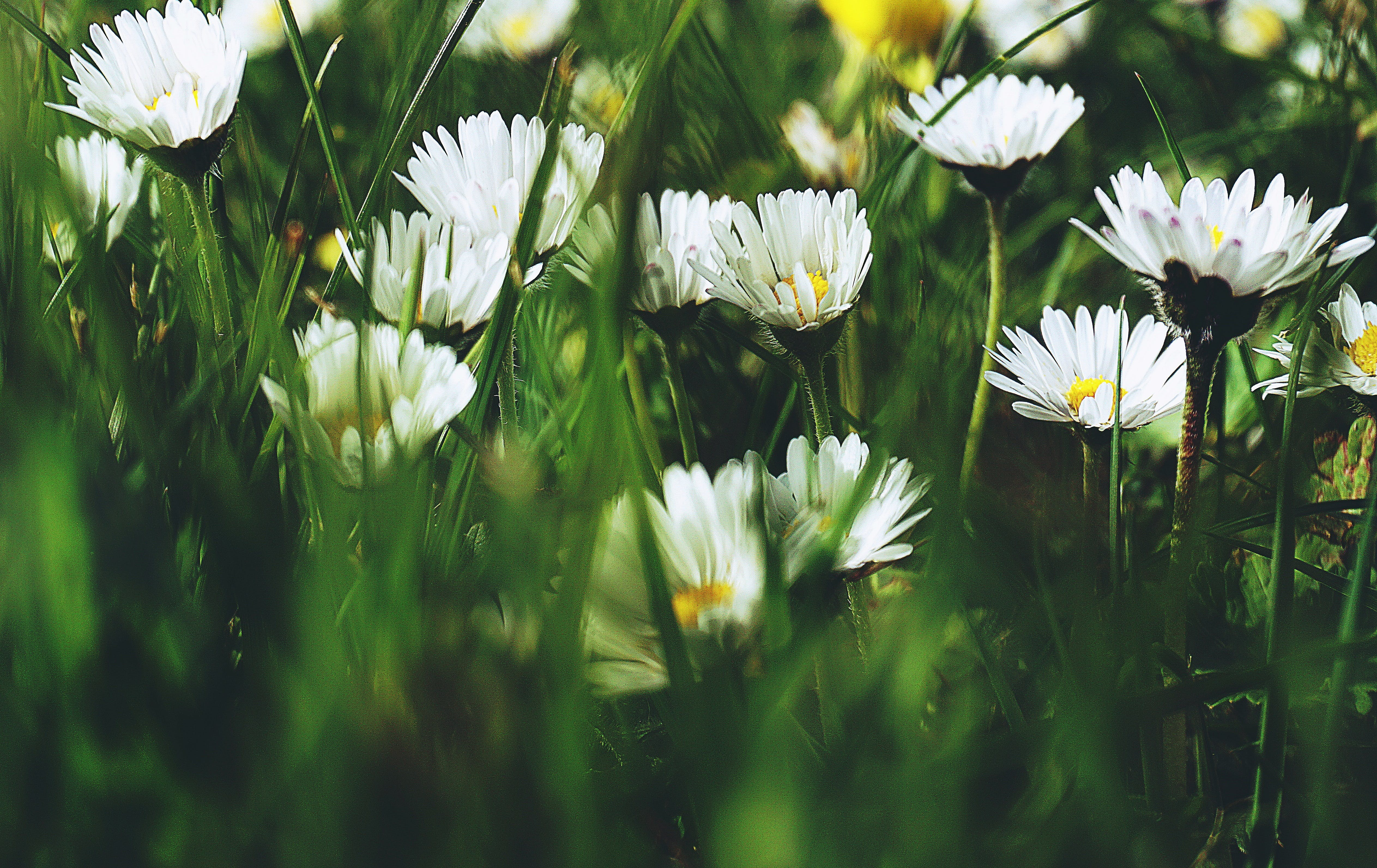 Free stock photo of close-up, daisies, flowers, grass