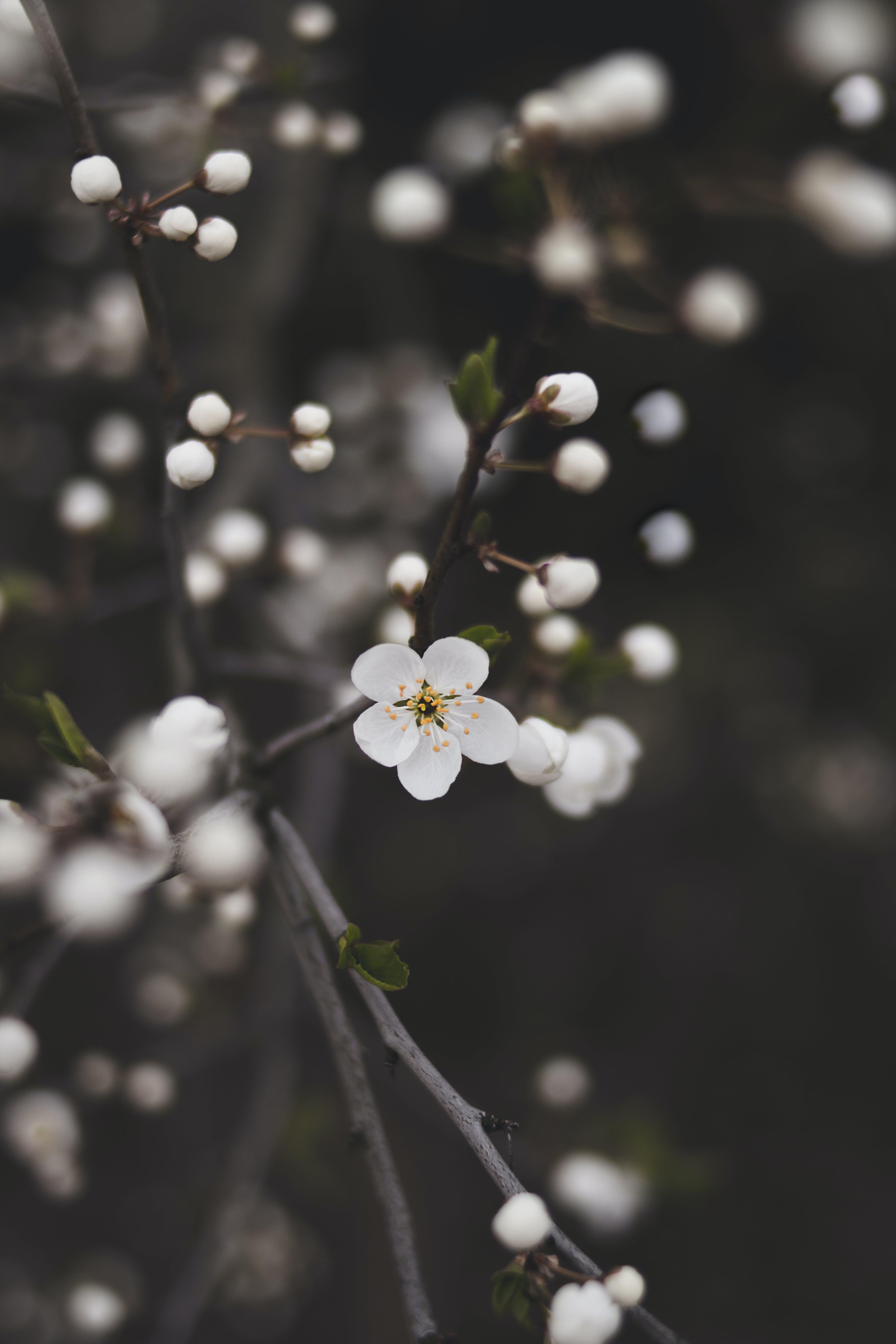 Δωρεάν στοκ φωτογραφιών με ανάπτυξη, ανθισμένος, άνθος, άνθος μηλιάς