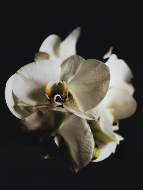 Close-up Photo of White Orchid in Black Background