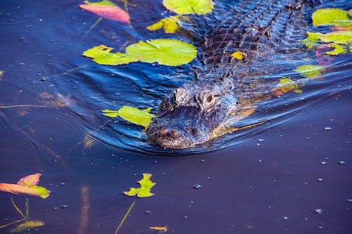 Darmowe zdjęcie z galerii z aligator