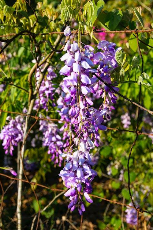 Darmowe zdjęcie z galerii z wisteria