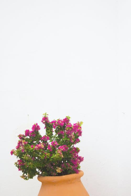 Fotobanka sbezplatnými fotkami na tému biela, biele pozadie, črepníková rastlina, exteriéry