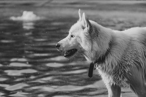 Grayscale Photography of Dog Near Rippling Water