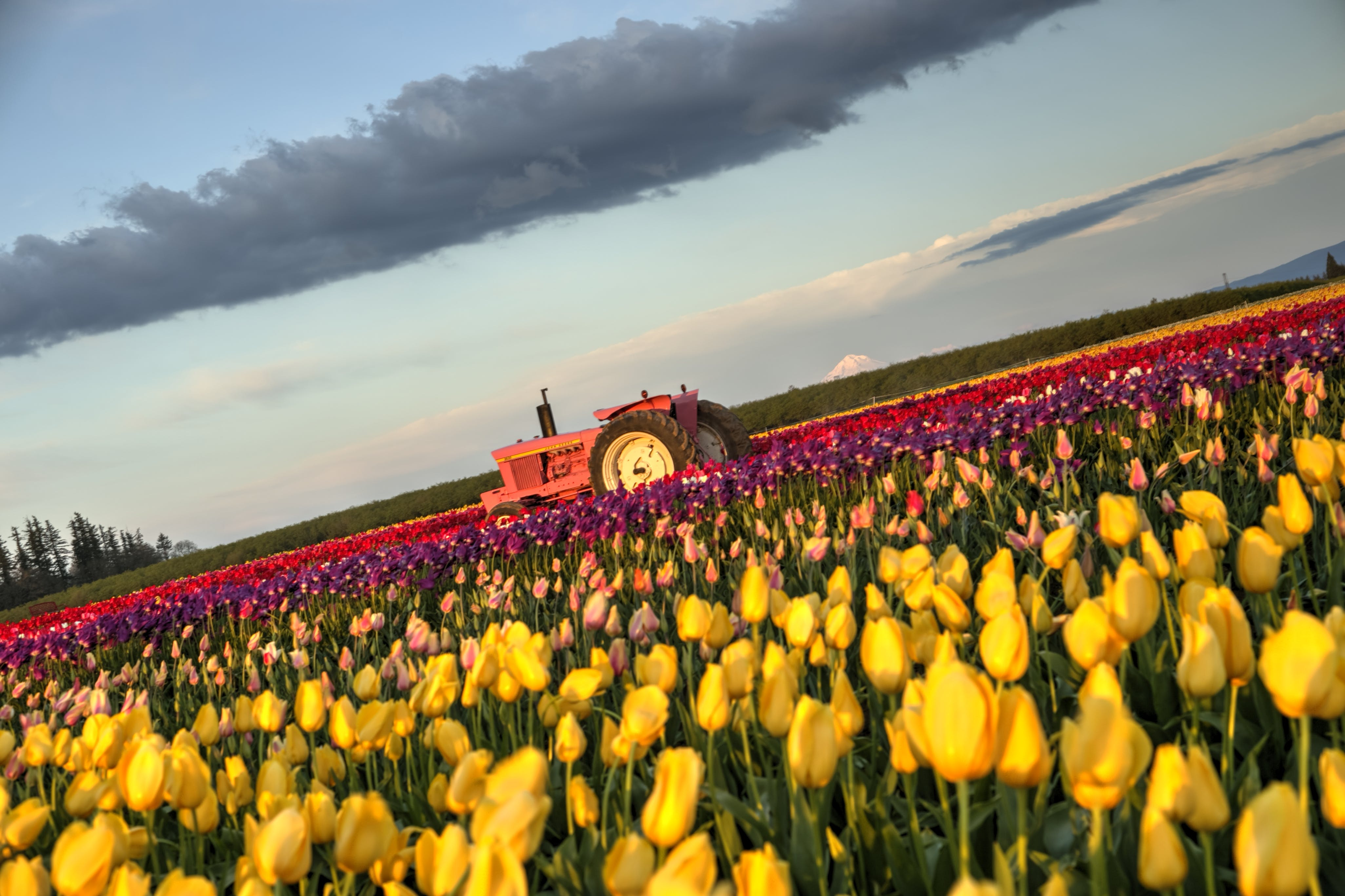 Free stock photo of beautiful flowers, field tulips, hdr, Pink Tulips