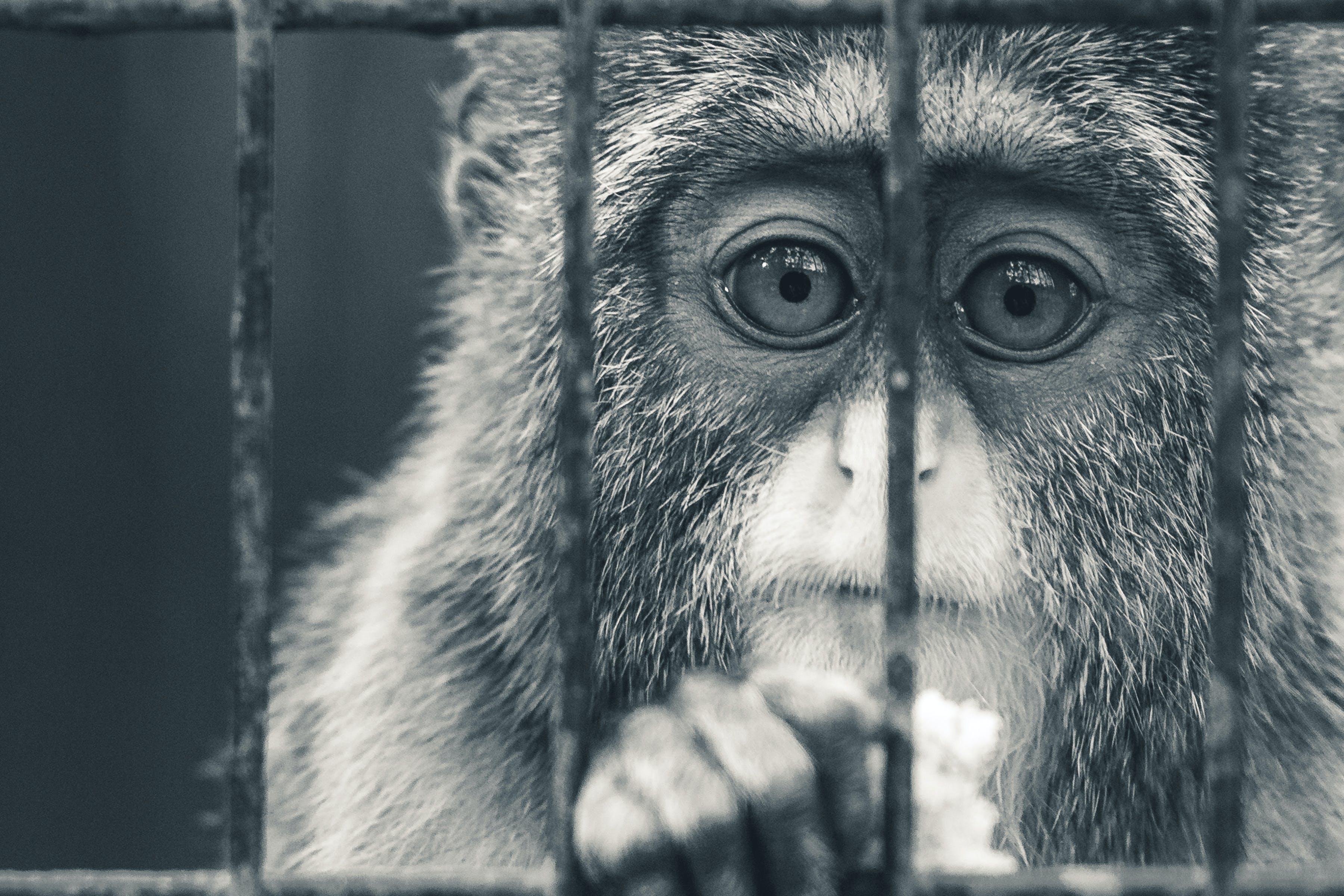 Gratis lagerfoto af abe, dyr, humør, sort og hvid