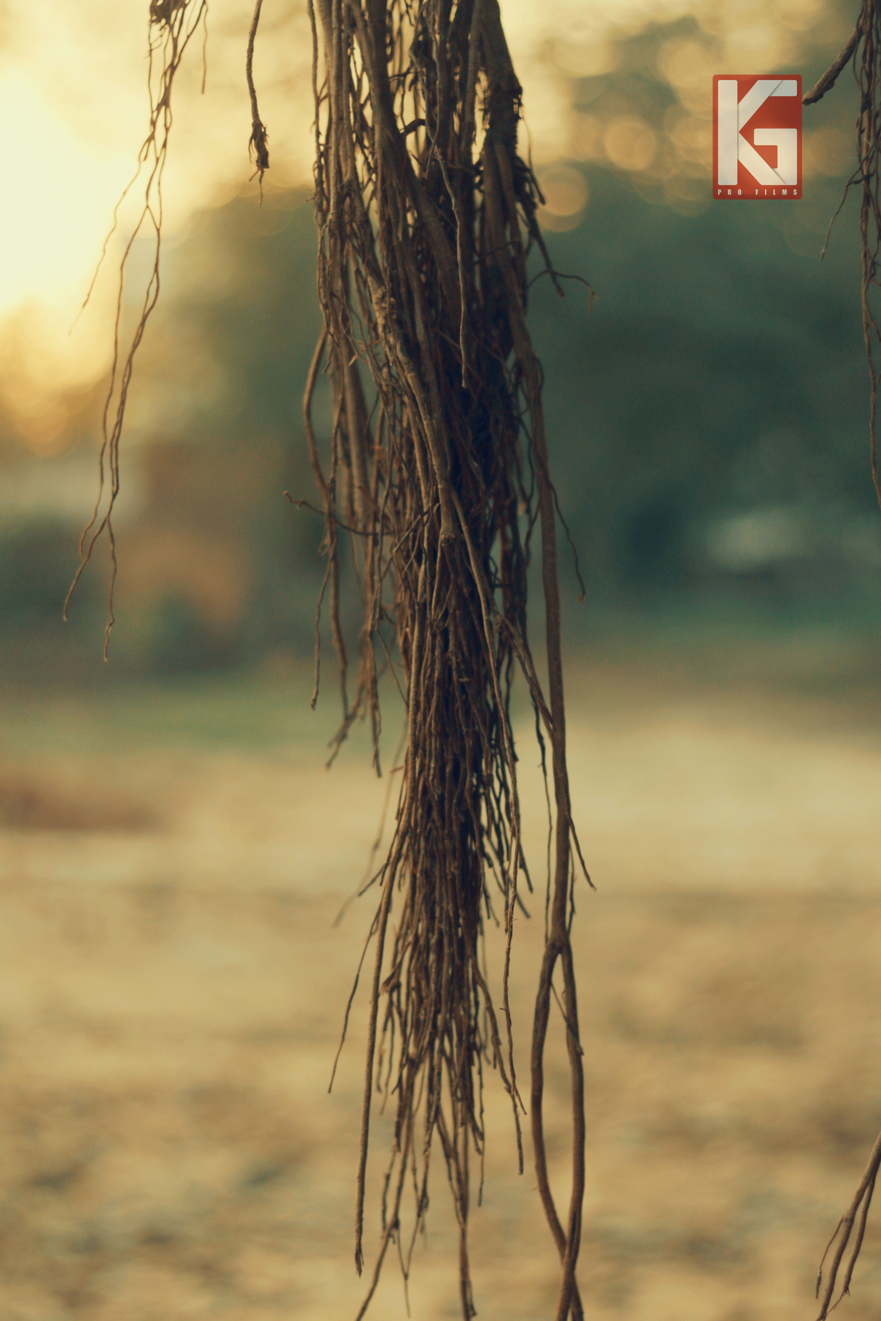 Free stock photo of banyan tree, tree