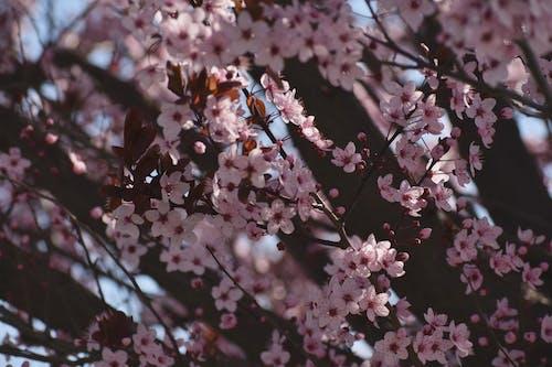 Бесплатное стоковое фото с бутоны, дерево, красивый, лепестки