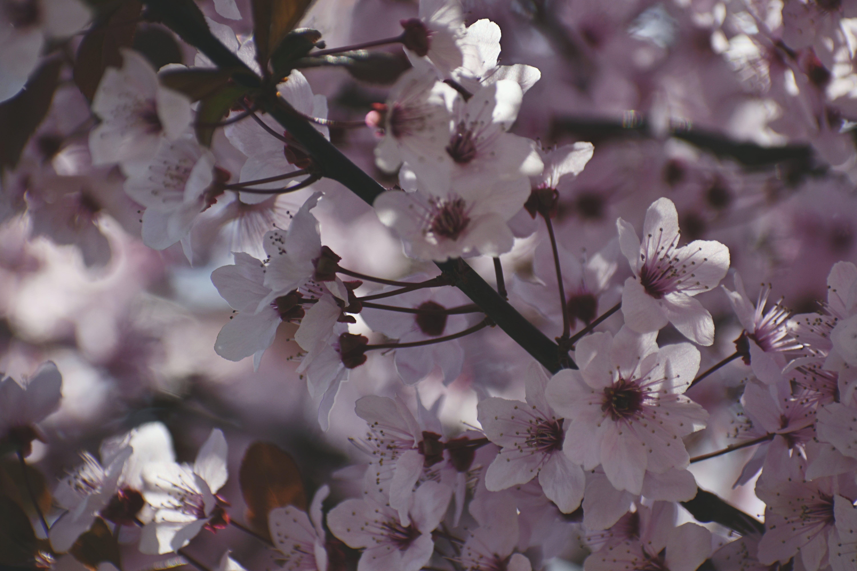Immagine gratuita di bellissimo, bianco, ciliegia, colore