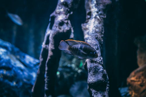 Selective Focus Photography of Gray Cichlid Fish