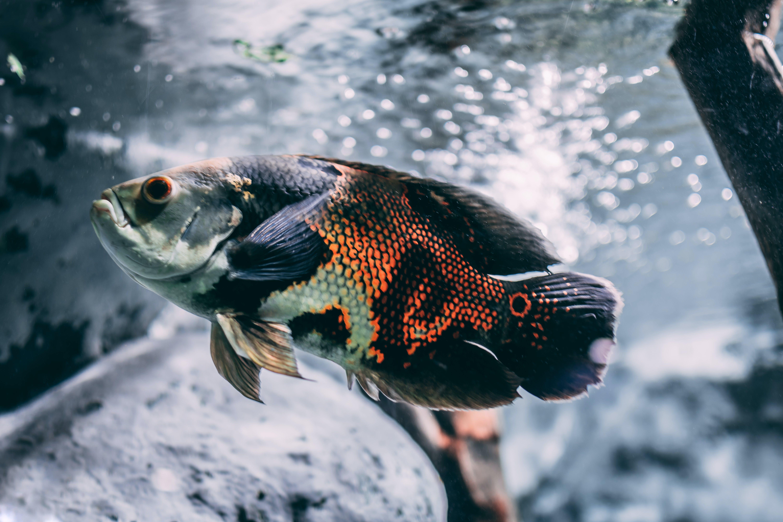 Brown, Silver, and Black Oscar Fish