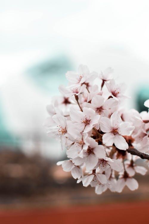 Základová fotografie zdarma na téma flóra, jemný, krásné květiny, krásný