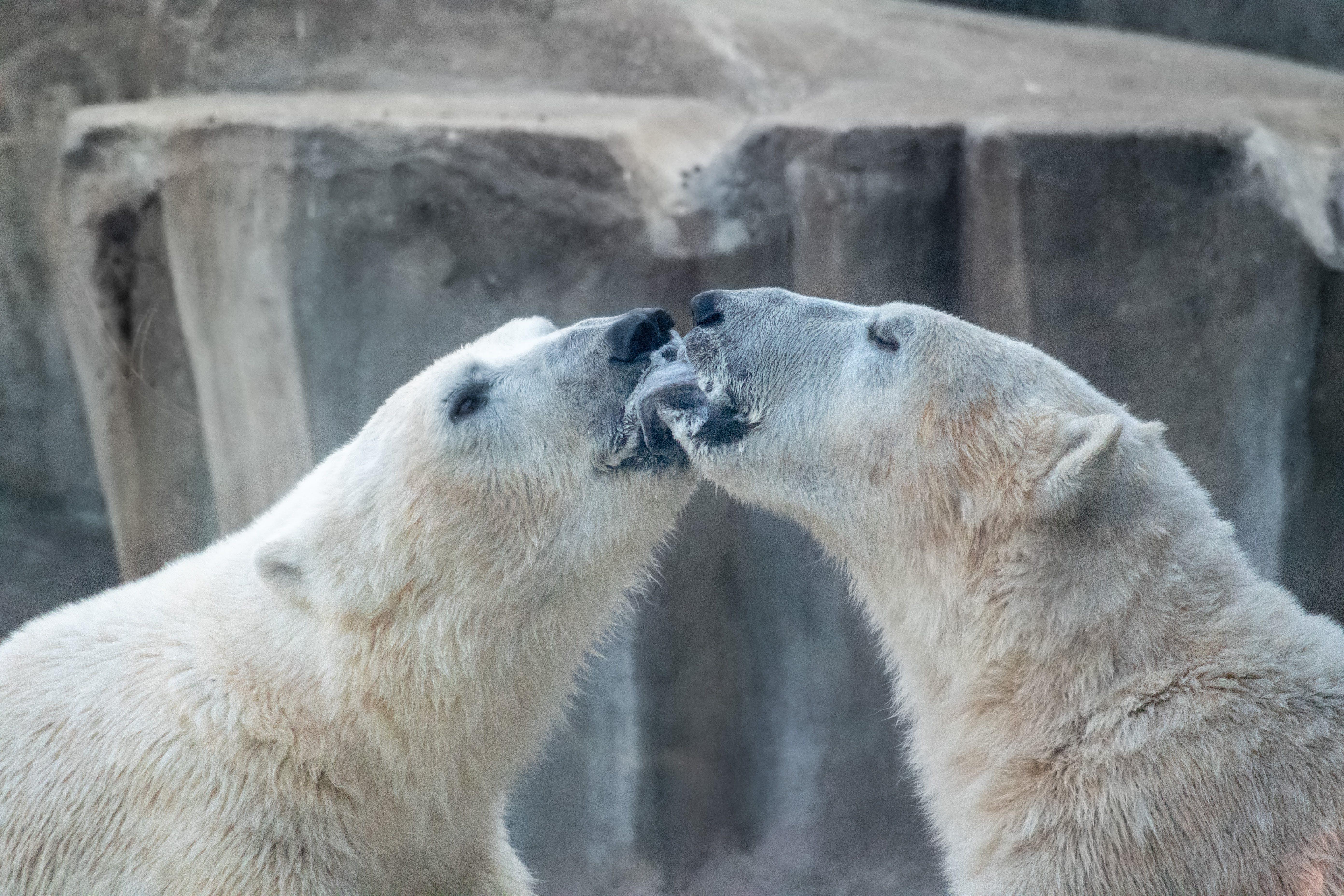 Foto d'estoc gratuïta de amor, animal, blanc, natura