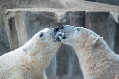Gratis stockfoto met beer, beest, ijsbeer, liefde
