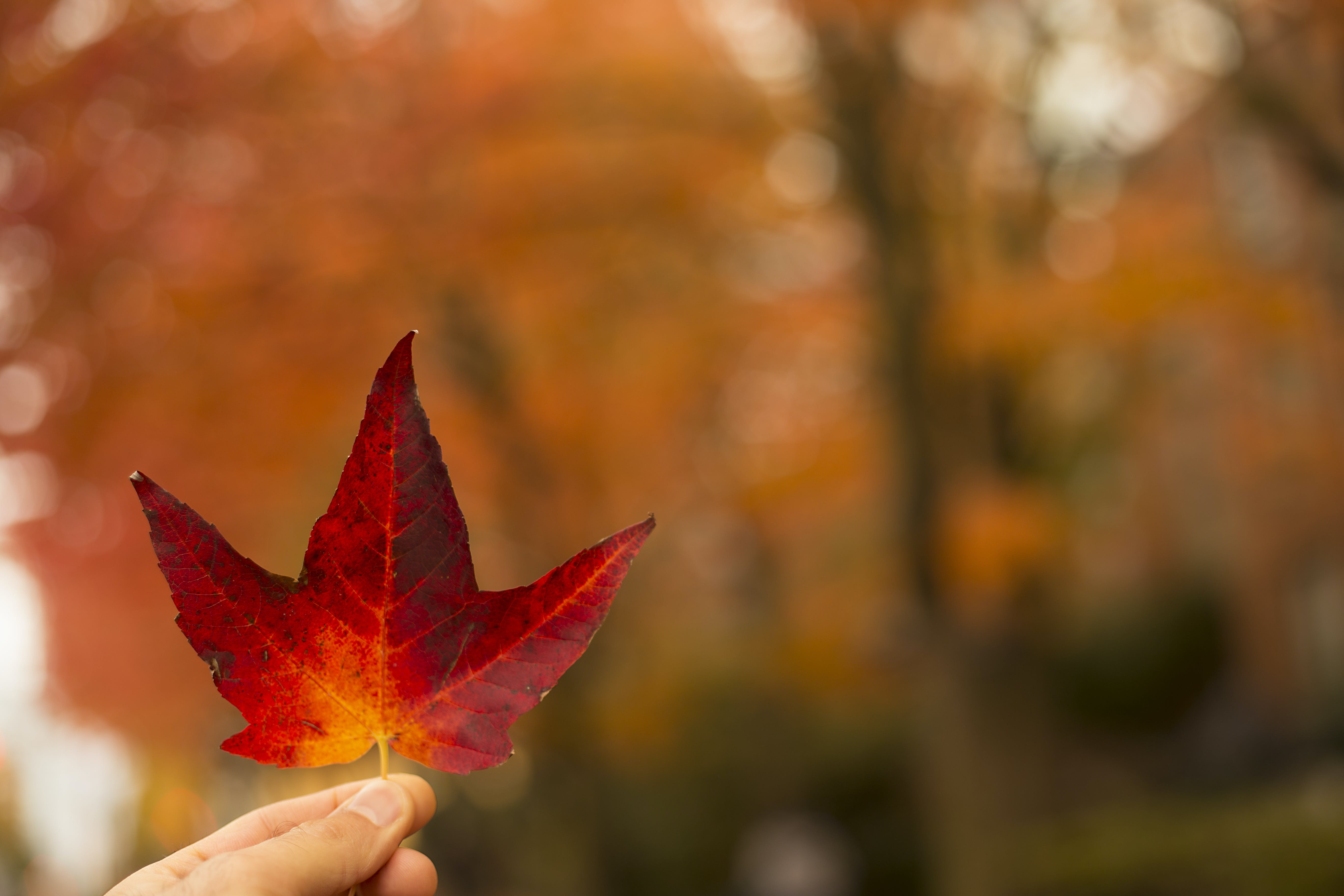 Selective-focus Photography of Person Holding Red Maple Leaf