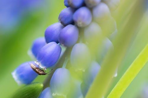 Photos gratuites de bleu, insecte, muscari, photo macro