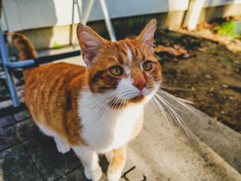Selective Focus Photography of Orange and White Tabby Cat