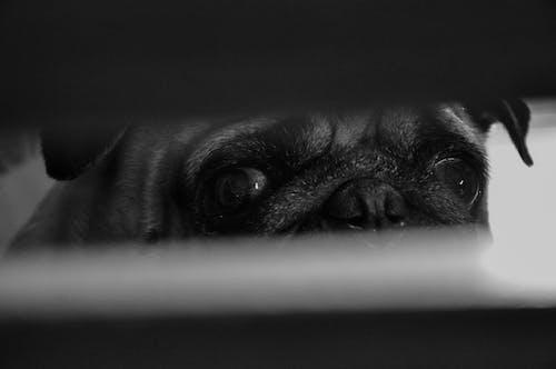 Foto d'estoc gratuïta de Brasil, carlí, gos, pexels