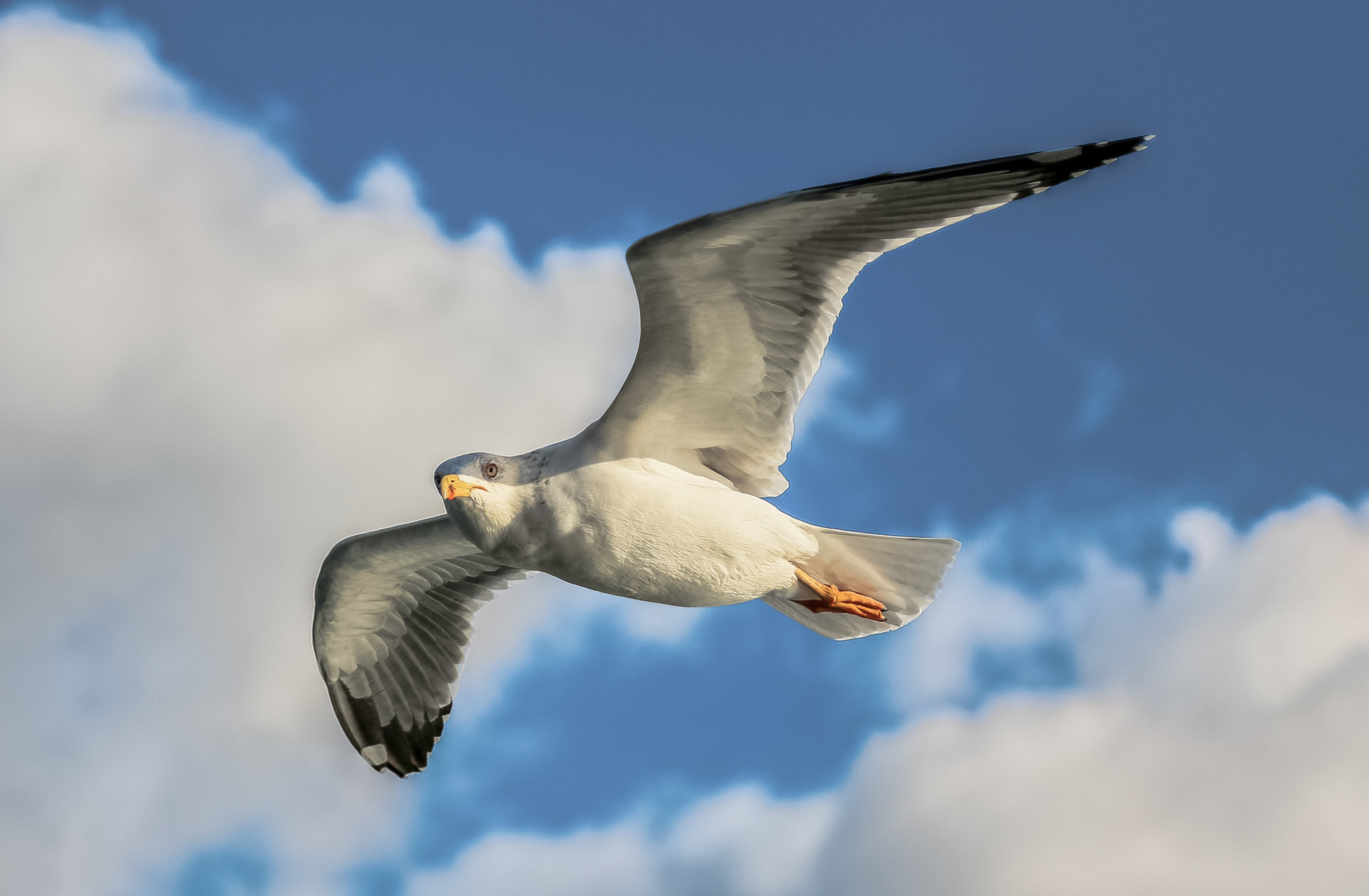 Close-Up Photo of Flying Seagull