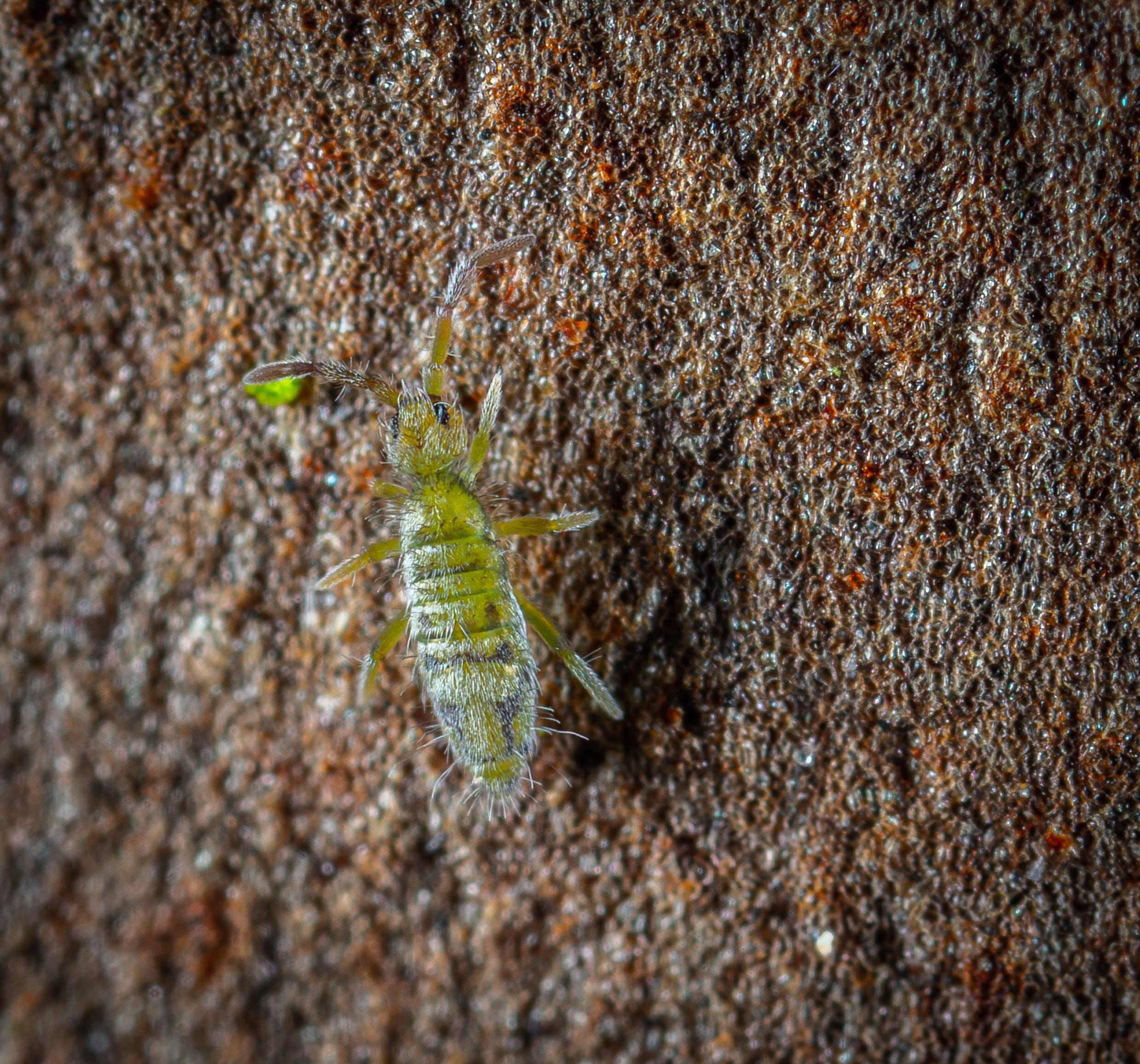 宏觀, 跳蟲 的 免費圖庫相片