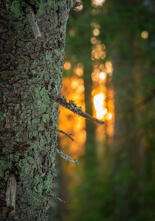 Ingyenes stockfotó erdő, este, fa, naplemente témában