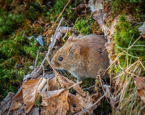 Gratis lagerfoto af mus, natur, skov, vild