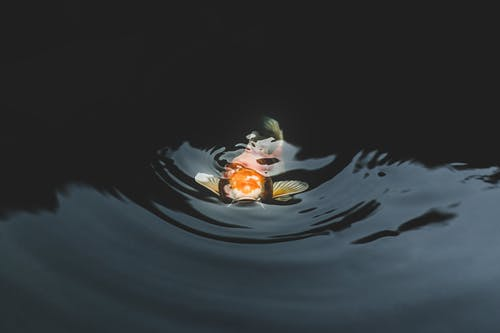 Fotobanka sbezplatnými fotkami na tému čeriť, farba, jazierko, koi ryby