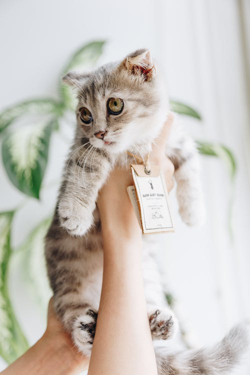 Person Holding Cat Wearing Tag
