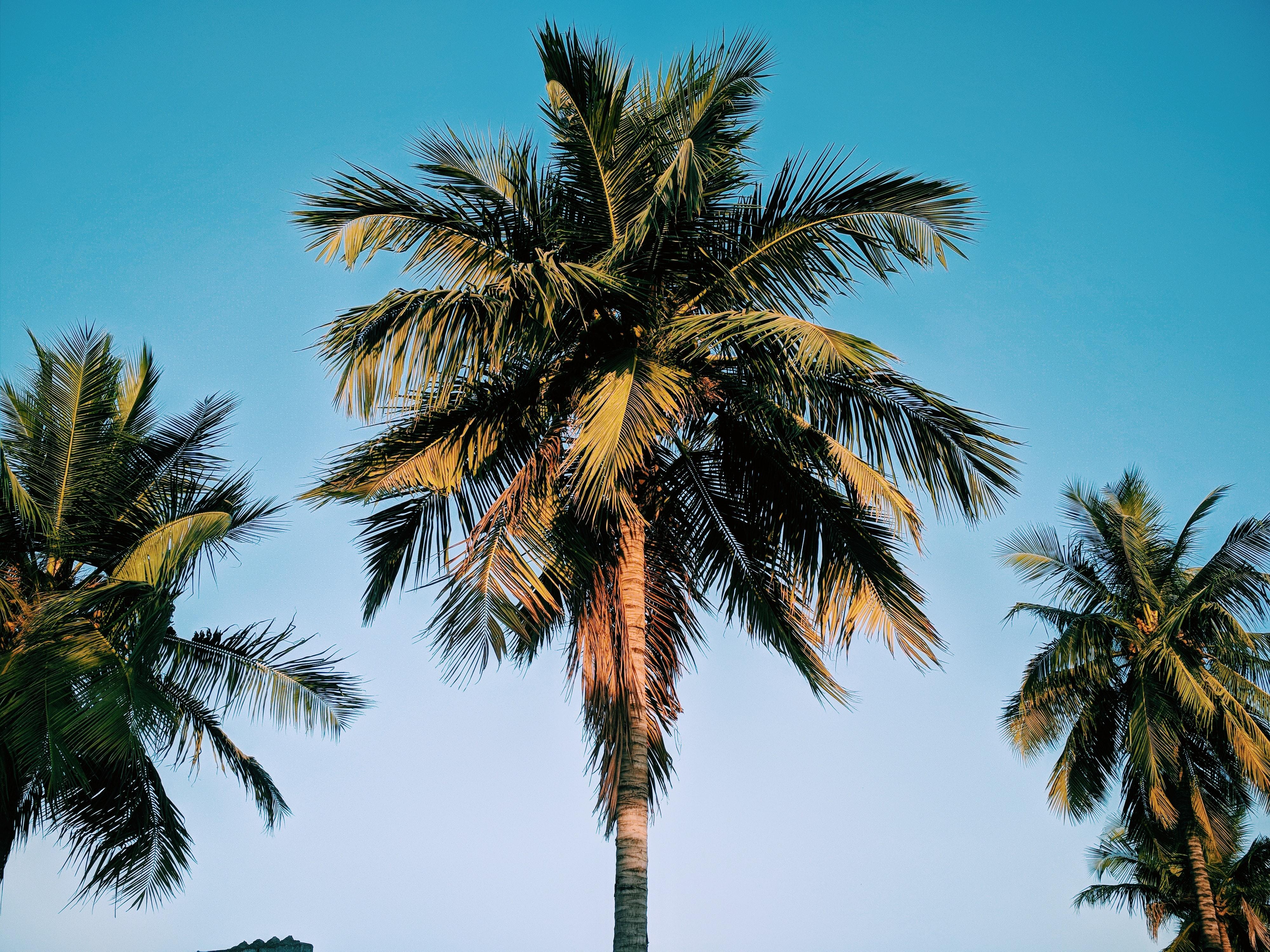 Foto Stok Gratis Tentang Alam Pohon Kelapa Wallpaper 4k