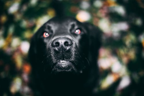 Selective Focus Photography of Adult Black Labrador Retriever