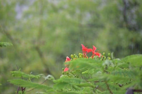 Ingyenes stockfotó eső csepp virág, piros virág, vörös láng virág, zöld szín témában