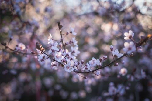 Fotobanka sbezplatnými fotkami na tému bokeh, čerešňový kvet, detailný záber, exteriéry
