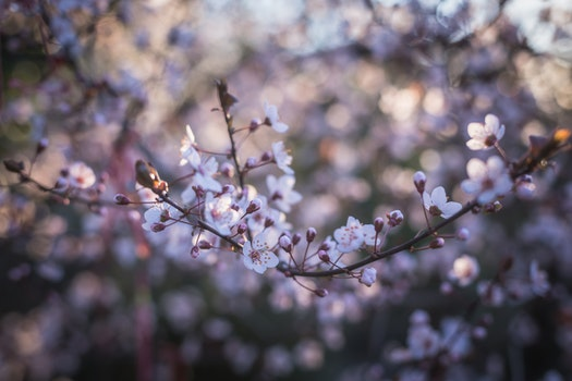 Cherry Blossoms Close Up Photography