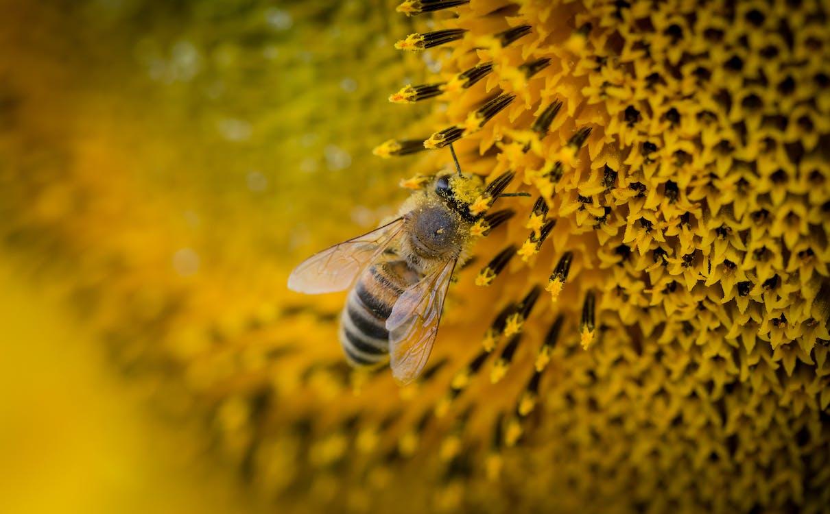 ape, ape da miele, concentrarsi